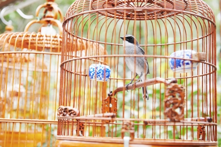 captivity: Songbird in cage. Symbol of prison