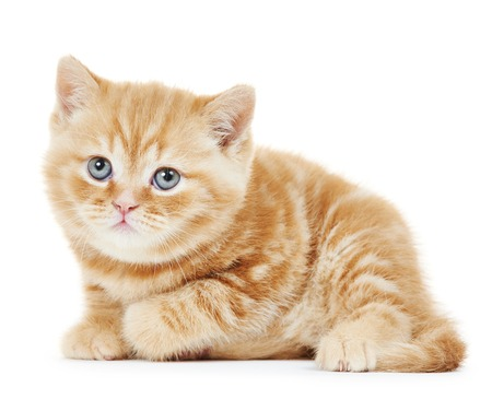 One british shorthair red kitten cat isolated photo