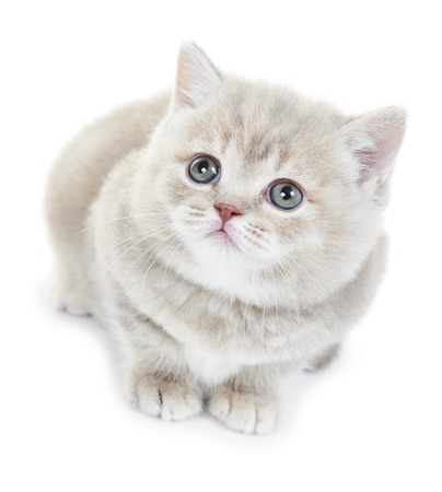 One British Shorthair Grey Kitten Cat Isolated Stock Photo
