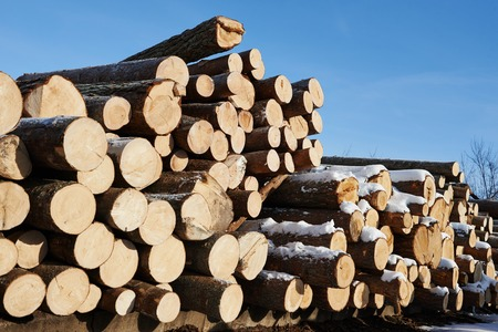 timber harvesting: Stacked wood pine timber for construction buildings background