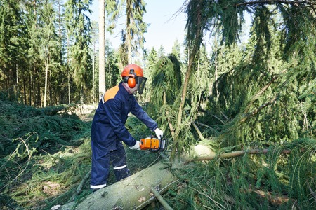 logger: Lumberjack logger worker in protective gear cutting branch of timber tree in forest with chainsaw