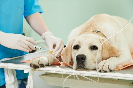 veterinary giving the vaccine to the ivory labrador dog in clinic Banco de Imagens