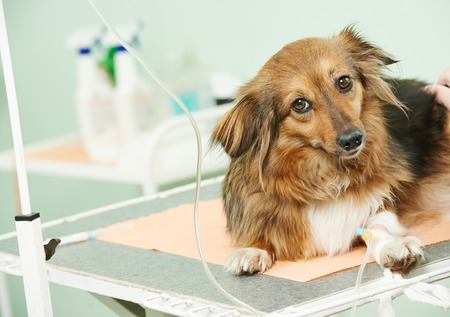 vaccine to the dog in veterinary clinic photo