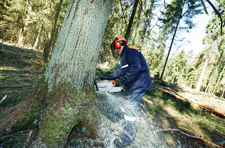 woodcutter: Lumberjack logger worker in protective gear cutting firewood timber tree in forest with chainsaw Stock Photo