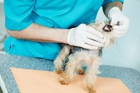 male veterinarian surgeon worker examining teeth of terrier dog in veterinary surgery clinic photo