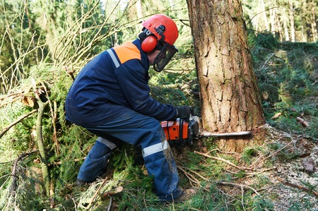 Lumberjack logger worker in protective gear cutting firewood timber tree in forest with chainsaw Stockfoto