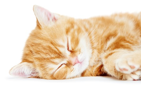 cat sleeping: One little sleeping kitten cat of red colour Stock Photo
