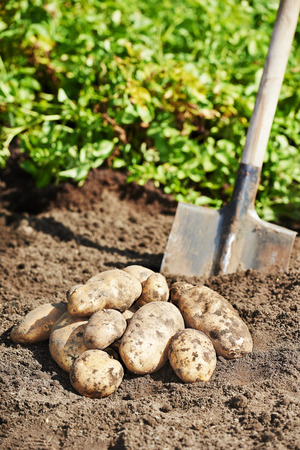 fresh organic bio potatoes vegetable in the field on soil photo