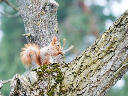 pinoli: fauna animale. scoiattolo rosso seduto su un albero nella foresta