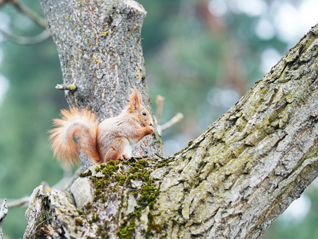 tree nuts: wildlife animal. red squirrel sitting on a tree in the forrest Stock Photo