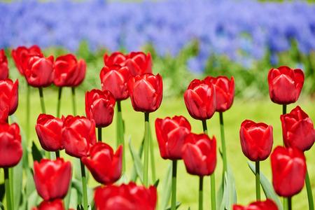 campo de flores: Flor del tulipán. Primer campo de flores de color rojo al aire libre Foto de archivo