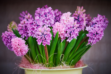 hyacinthus: flor de jacinto. De color p�rpura o lila Jacinto flores de cerca en la olla interior Foto de archivo
