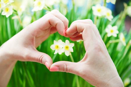 silhouette fleur: Love concept. Main avec en forme de c?ur autour de petits narcisses jonquille bourgeon de fleur. Shallow Banque d'images