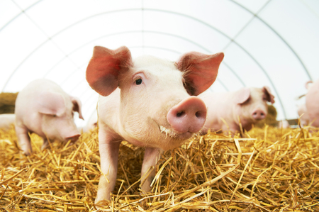 domestic: herd of young piglet on hay and straw at pig breeding farm Stock Photo
