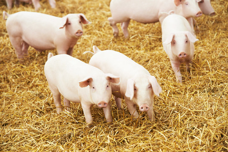 豚繁殖農場で草や乾草に若い豚の群れ