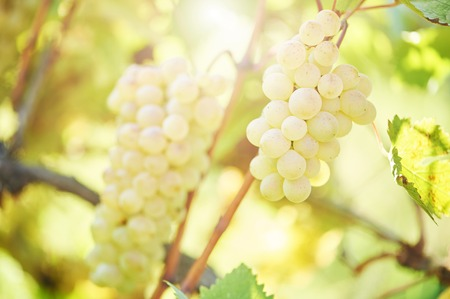 grape fruit: Chardonnay, Sauvignon or Rkatsiteli green ripe bunch of grapes in vineyard during fall harvest Stock Photo