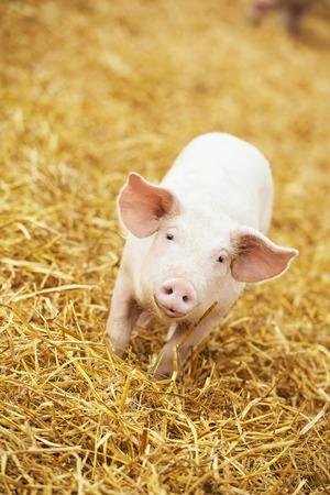 Ein junger Ferkel auf Heu und Stroh in Schweinezuchtfarm