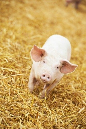 pig: One young piglet on hay and straw at pig breeding farm Stock Photo