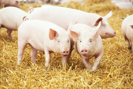 animales de granja: dos j�venes lechones en el heno y la paja en la granja de cr�a de cerdos