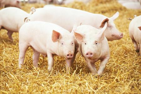 zwei junge Ferkel auf Heu und Stroh in Schweinezuchtfarm