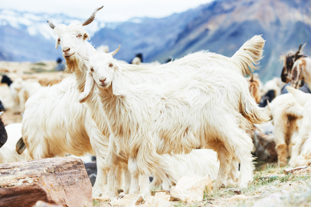 mountain goats: Two mountain goats in front of herd in Himalayas