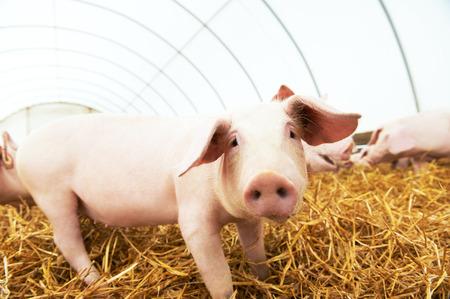 cerdos: Uno de los lechones en el heno y la paja en el conejillo de criadero