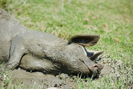 snouts: Pig hog having pleasure lying in mud at agriculture green field puddle  outdoors
