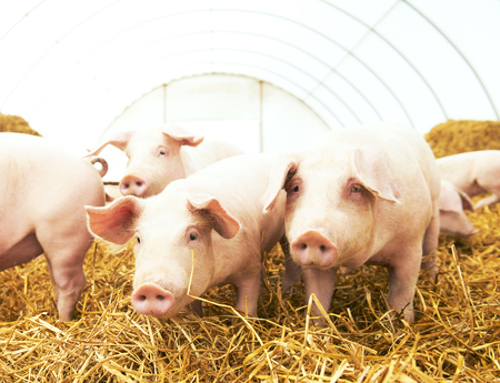 young pig: herd of young piglet on hay and straw at pig breeding farm Stock Photo