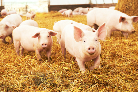 herd of young piglet on hay and straw at pig breeding farm Stockfoto
