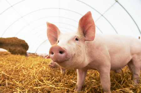 One young piglet on hay and straw at pig breeding farm Standard-Bild