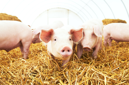 herd of young piglet on hay and straw at pig breeding farm Stock Photo