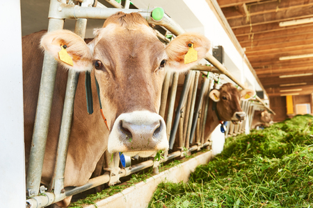 Agriculture and farming. Cows in the farm stall cowshed eating fresh green grass