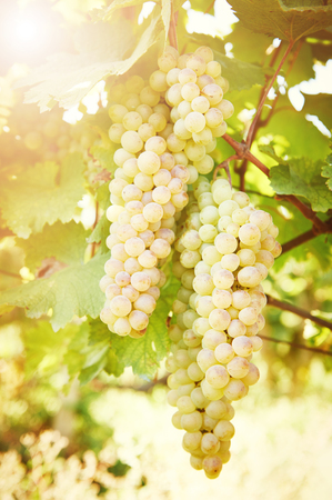 Chardonnay, Sauvignon or Rkatsiteli green ripe bunch of grapes in vineyard during fall harvest Stock Photo