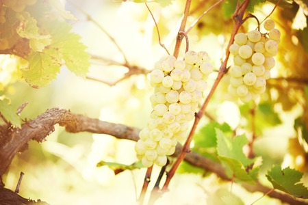 chardonnay: Chardonnay, Sauvignon or Rkatsiteli green ripe bunch of grapes in vineyard during fall harvest Stock Photo