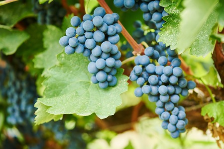 Red ripe bunch of grapes in vineyard during fall harvest. Selective focus Stock Photo