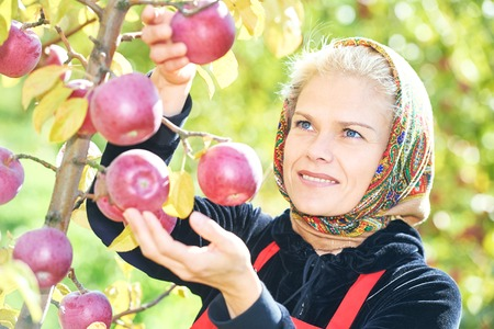 autumn garden: Young smiling woman picking ripe apples from an tree on summer day in orchard Stock Photo