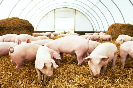 Kudde van jonge biggen op hooi en stro op varkensfokkerij boerderij