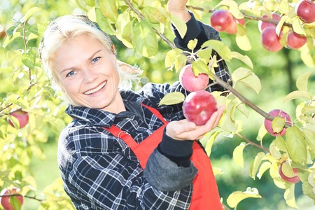picker: Young woman picker portrait during ripe apples picking from an tree on summer day in orchard Stock Photo