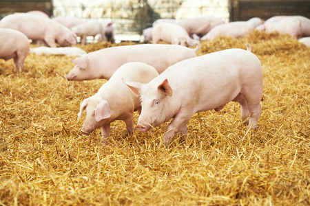 herd of young piglet on hay and straw at pig breeding farm Foto de archivo
