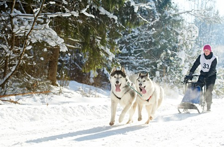 sled dogs: Sled dog racing. musher dogteam driver and Siberian husky at snow winter competition race in forest Stock Photo