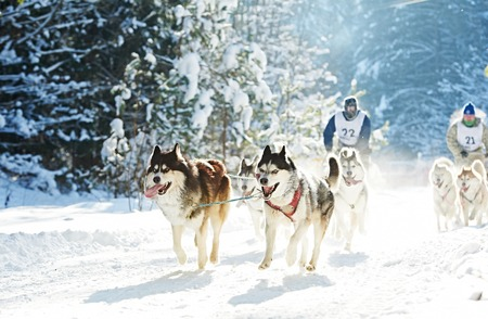 Sled dog racing. musher dogteam driver and Siberian husky at snow winter competition race in forest Stock Photo
