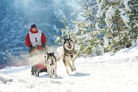sled dog: Sled dog racing. musher dogteam driver and Siberian husky at snow winter competition race in forest Stock Photo