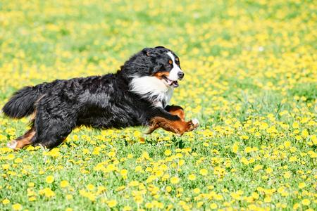 Bernese Sennenhund purebred shepherd dog in field Stock Photo