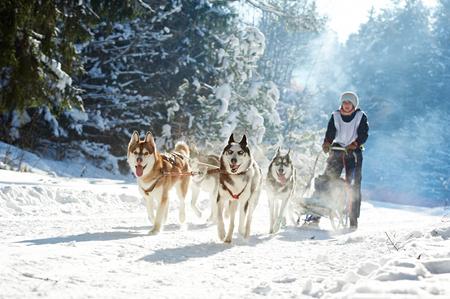 Husky dog sled racing