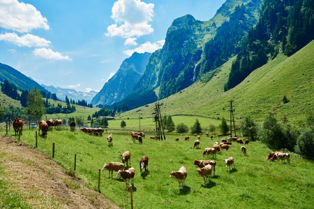 a herd of cow in the meadow Stock Photo