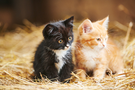 two kitten on hay. Black and red