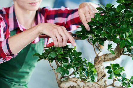 Bonsai. tending houseplant growth. Pruning small tree. Stockfoto