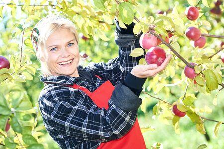 Woman picker portrait in apples orchard Stockfoto