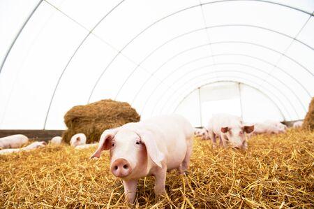 troupeau de jeunes porcelets sur foin et paille à la ferme d'élevage de porcs