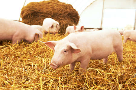 piglet on hay and straw at pig breeding farm Stock Photo